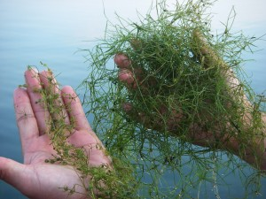 LakeMat Latest News Four Bad Weeds